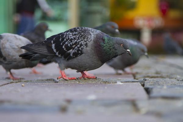 kolce na ptaki